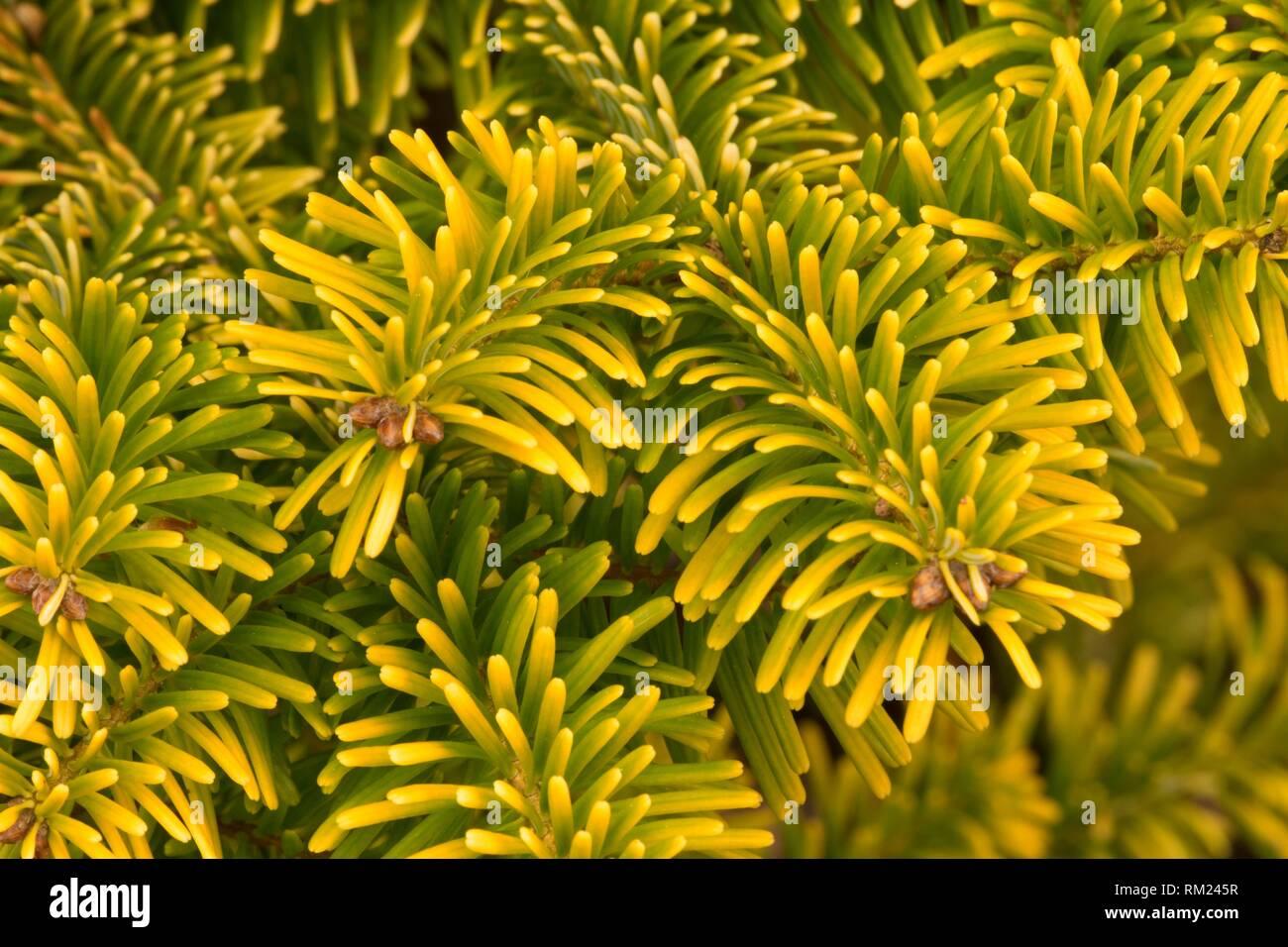Nordmann fir (Abies nordmanniana), Oregon Garden, Silverton, Oregon. - Stock Image
