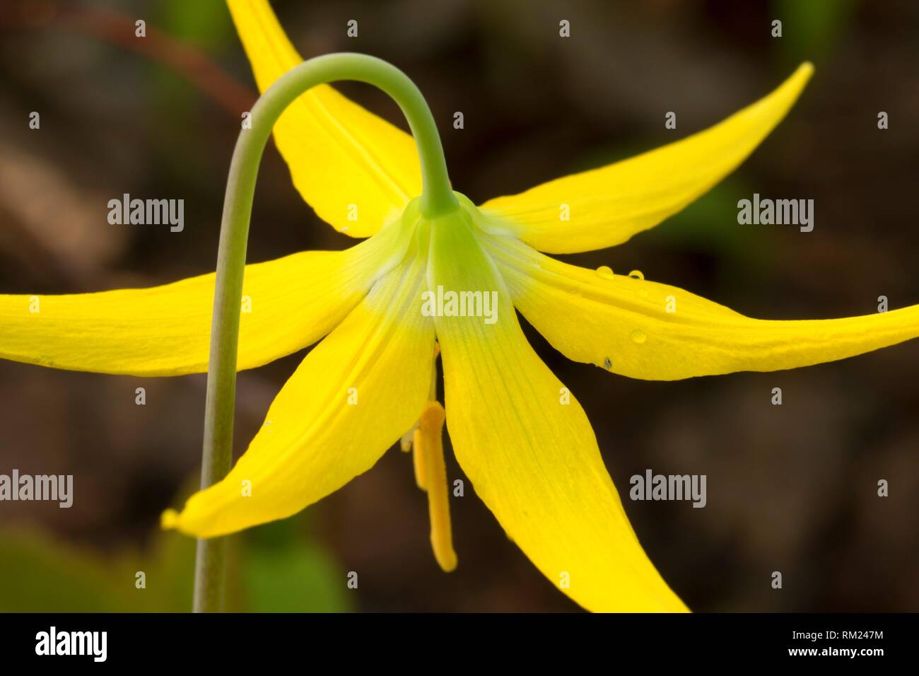 Glacier lily, Absaroka Beartooth Wilderness, Gallatin National Forest, Montana. - Stock Image