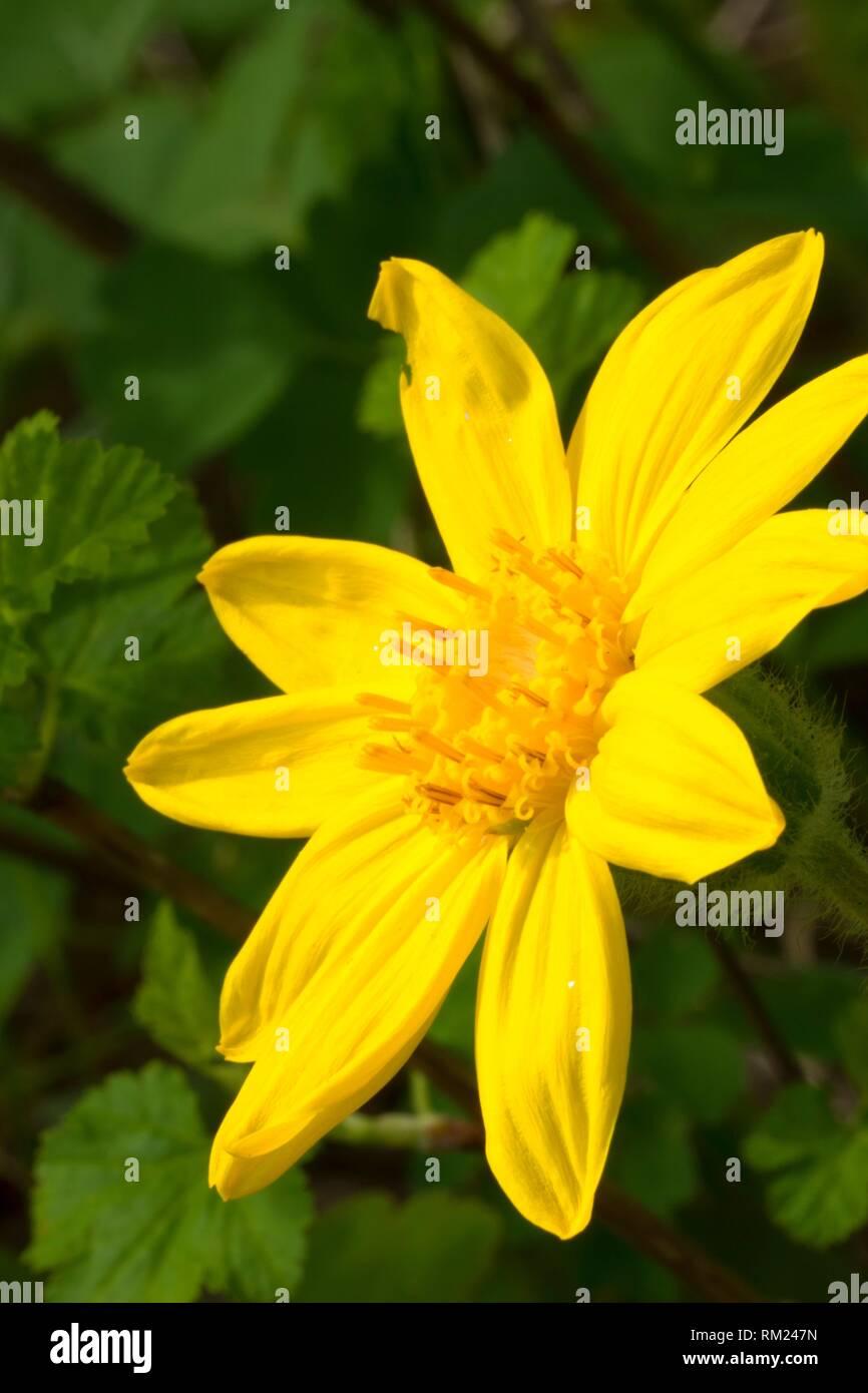 Arnica flower, Absaroka Beartooth Wilderness, Gallatin National Forest, Montana. - Stock Image