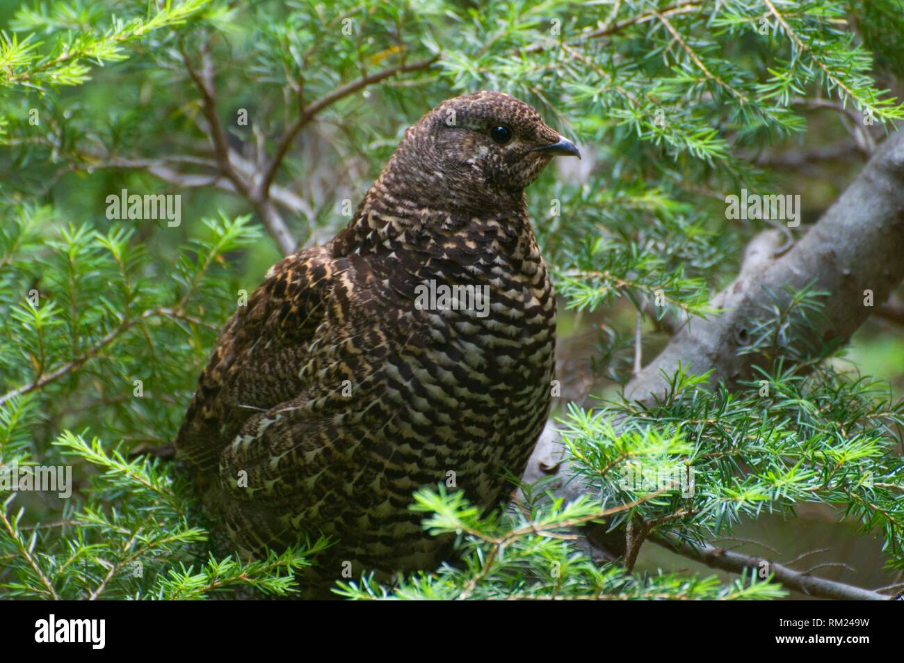 Grouse along CC Divide Trail, Lolo National Forest, Montana. - Stock Image