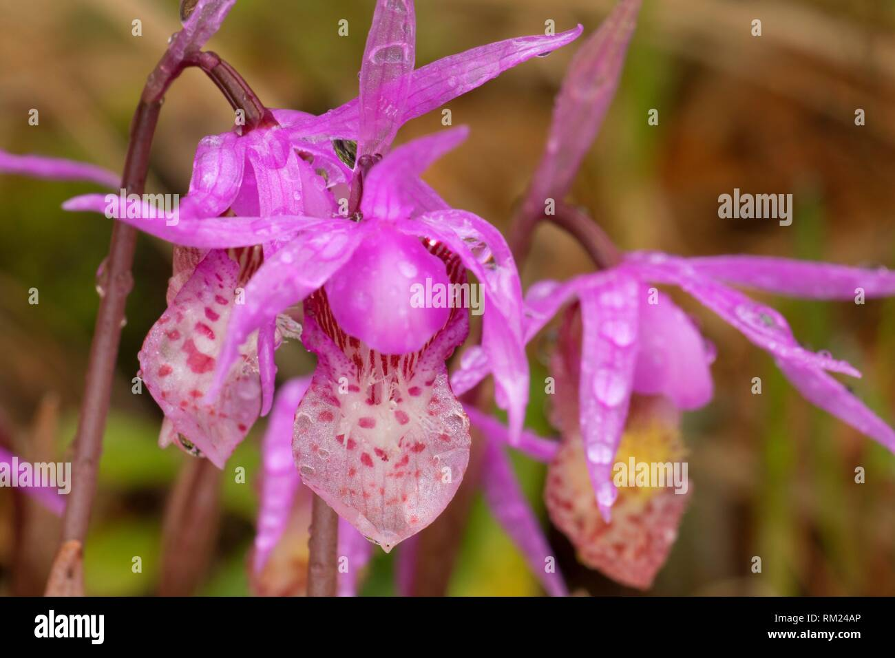 Fairy slipper along Historic Lolo Trail at Howard Creek, Lolo National Forest, Lewis and Clark National Historic Trail, Nez Perce National Historic - Stock Image