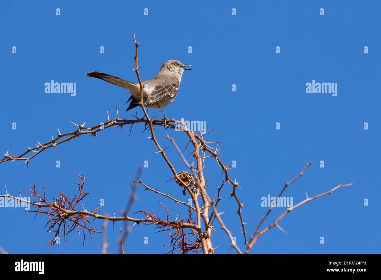 Northern mockingbird, Clark County Wetlands Park, Las Vegas, Nevada. Stock Photo