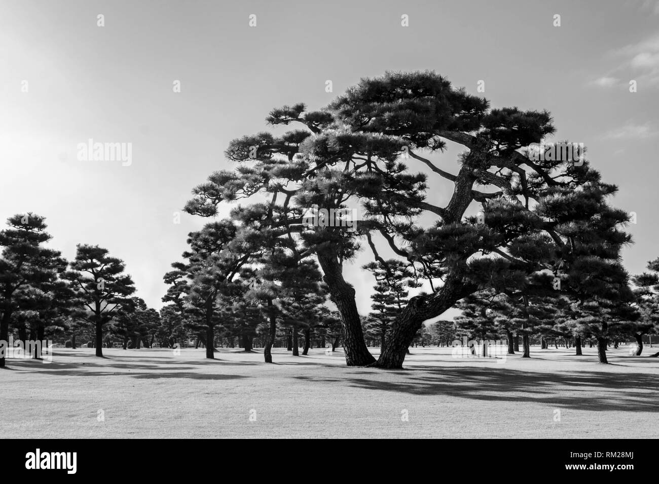Japanese black pines on the grassy lawn of the imperial palace tokyo japan grayscale green filter