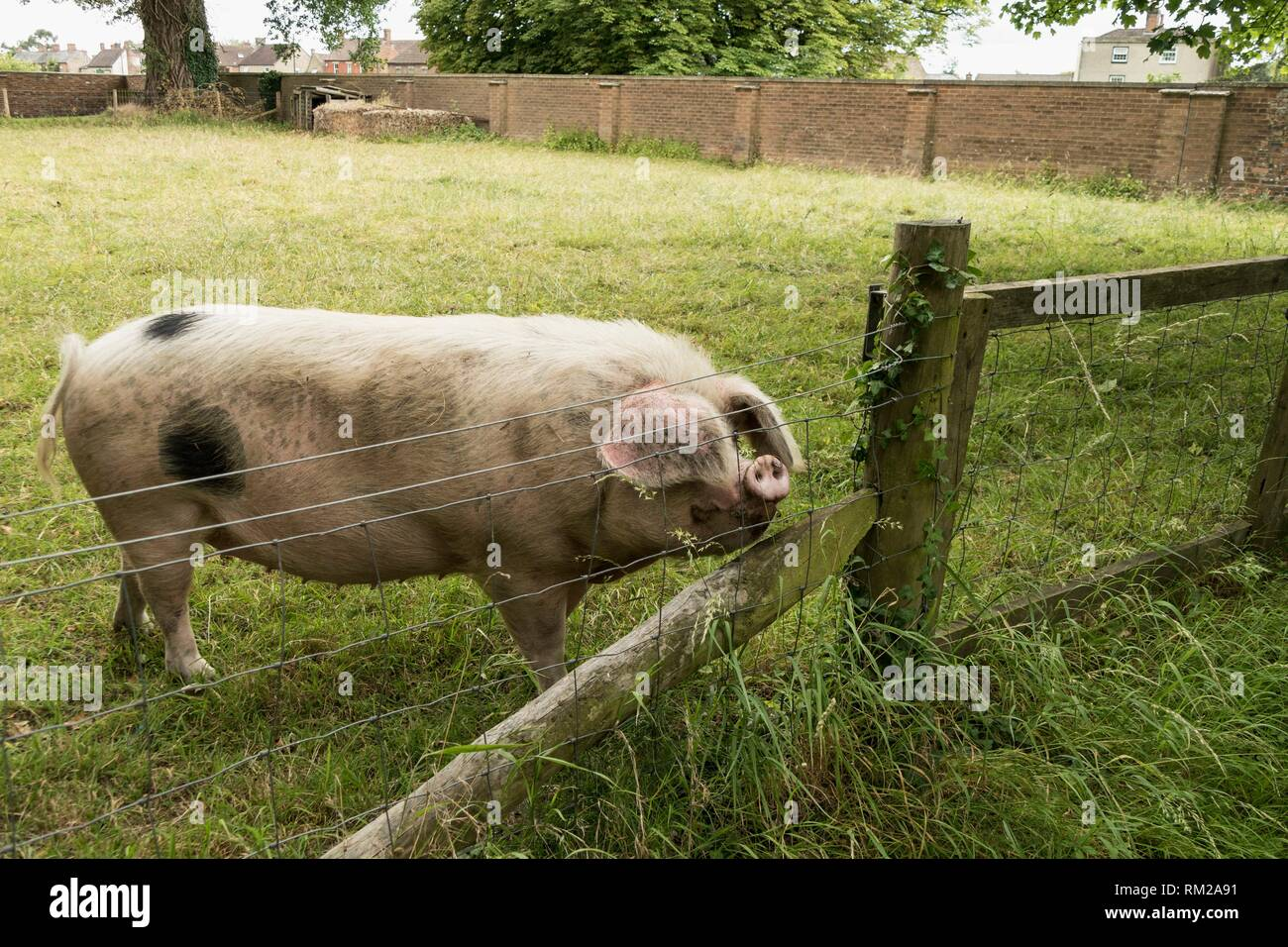 Black spotted sow with floppy ears and upturned snout sniffing the air behind a fence in Gloucestershire, England. - Stock Image
