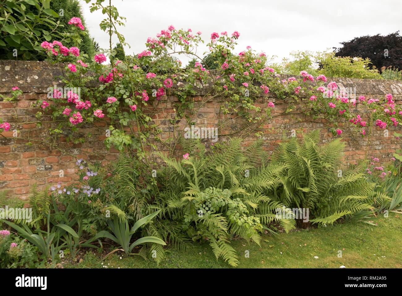 Bright pink roses tumbling over a mellow terracotta brick wall in the fernery of ´Fair Rosamund´s´ Grange, in Frampton on Severn, the Cotswolds, - Stock Image