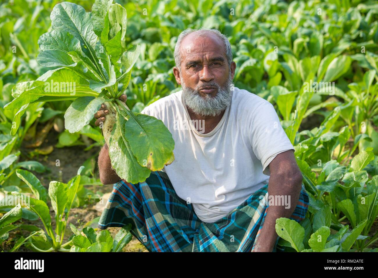 White radish farmer in the field at Jessore, Bangladesh. - Stock Image