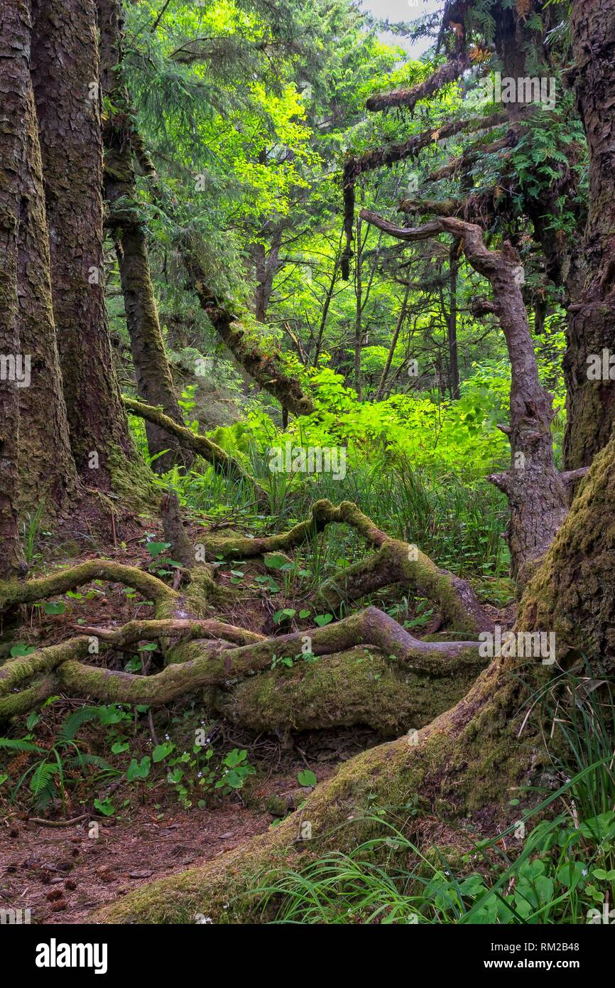 Gnarly limbs and bare roots in Fern Canyon forest, Prarie Creek Redwoods State Park, California, USA. Stock Photo