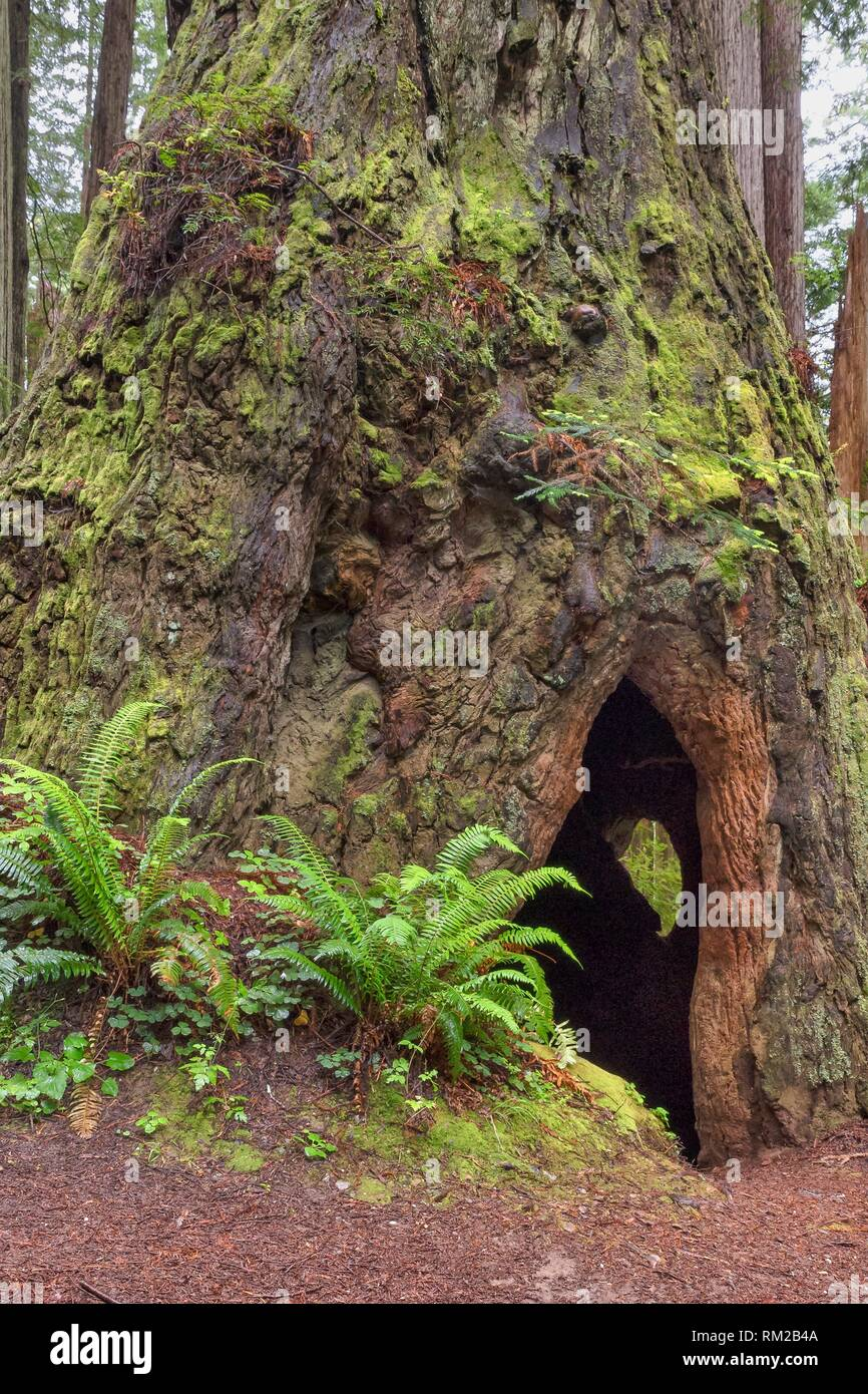 A Cal Barrel Road hallow giant redwood reveals a secret on its back side in Prarie Creek Redwoods State Park, California, USA. - Stock Image