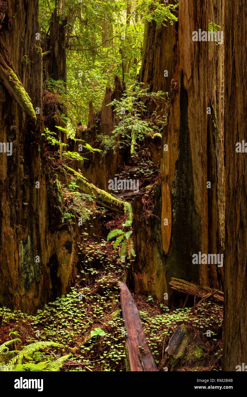 Sun on wet forest between rains on Cal Barrel Road in Praries Creek Redwoods State Park CA USA. - Stock Image