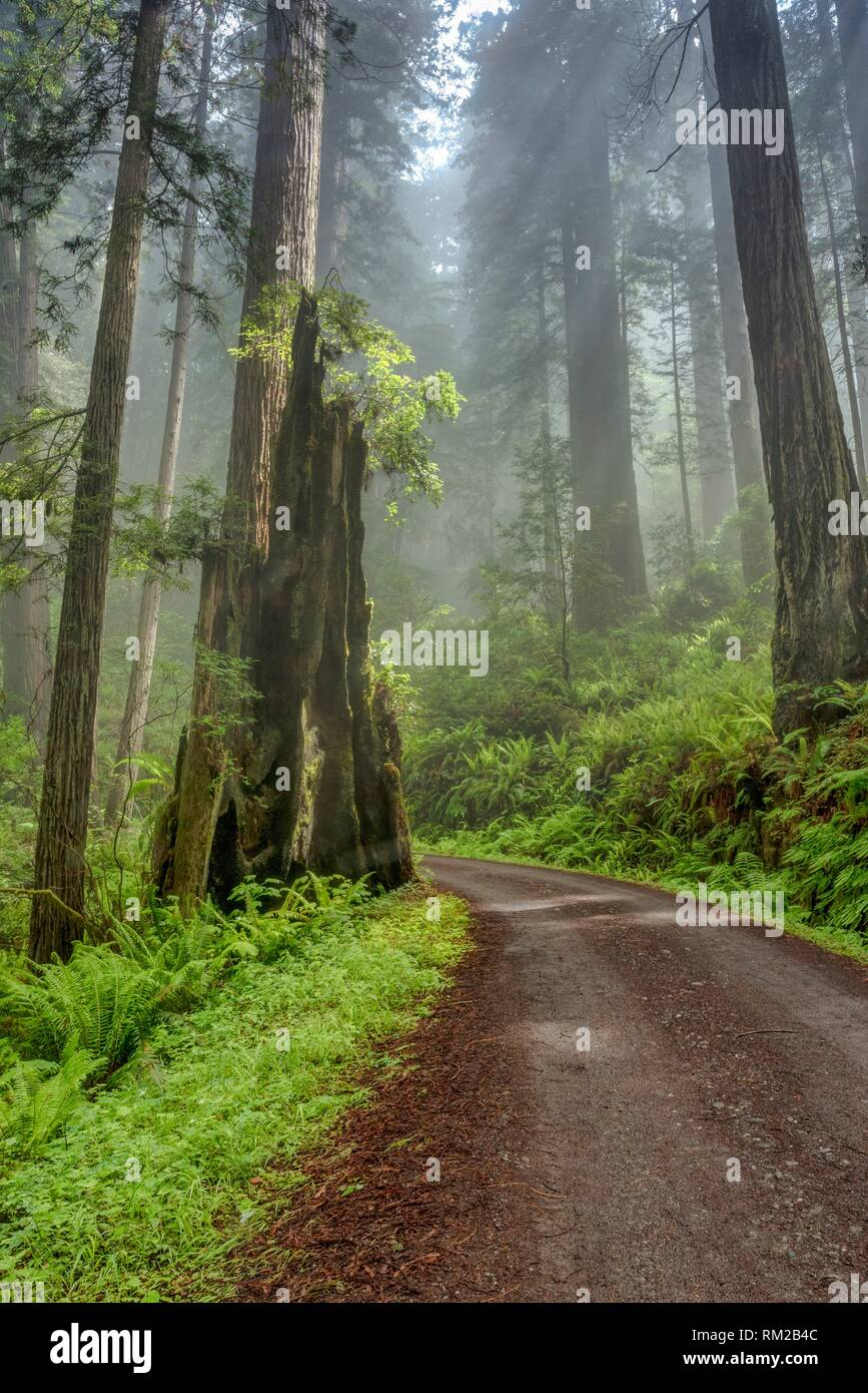 Shine shines through clouds on Cal Barrel Road in Prarie Creek Redwoods State Park, California, USA. - Stock Image