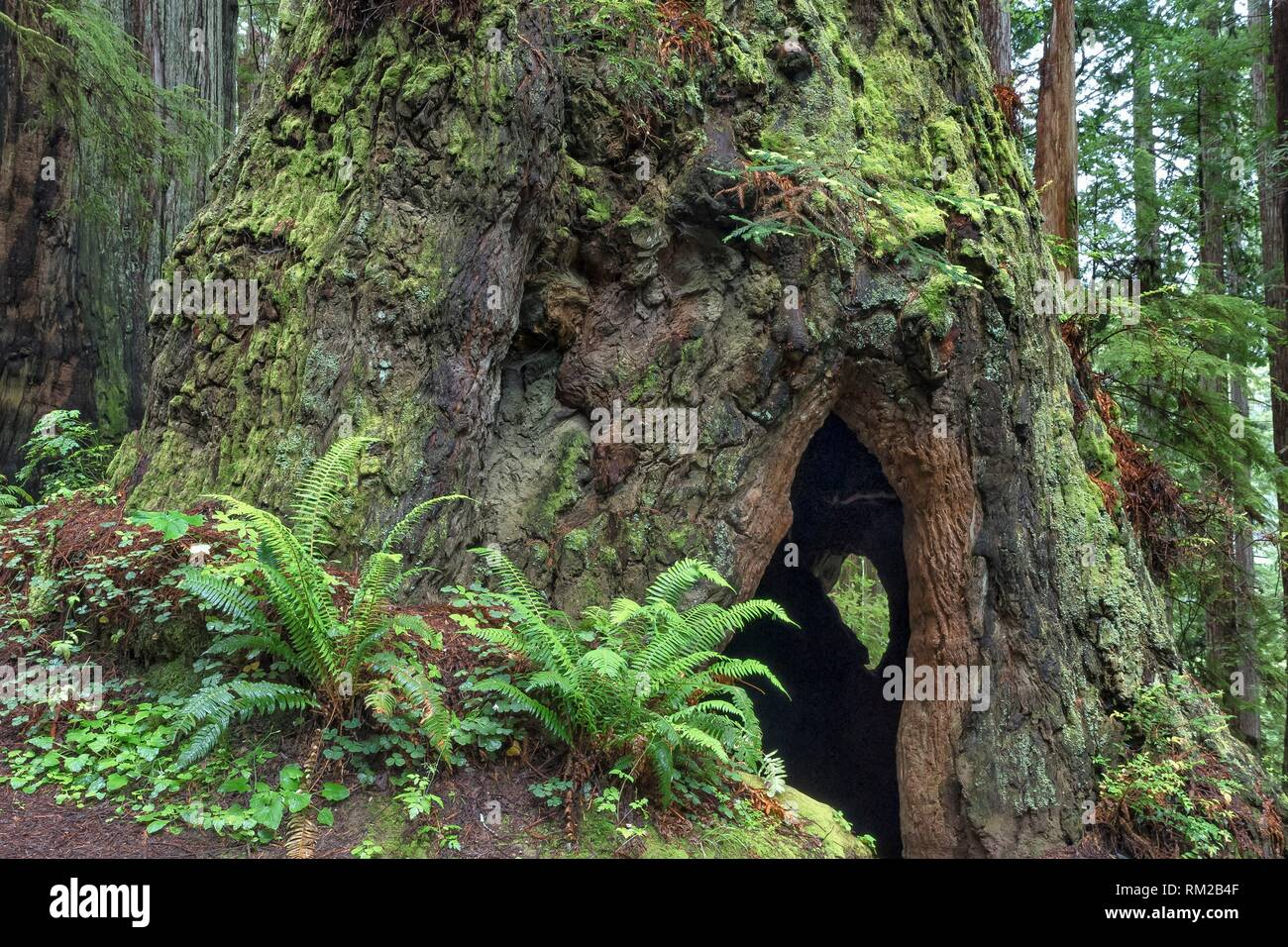 A Cal Barrel Road moss covered giant redwood tree with a hallow center gives a glimpse of a small tree on the opposite side in Prarie Creek Redwoods - Stock Image