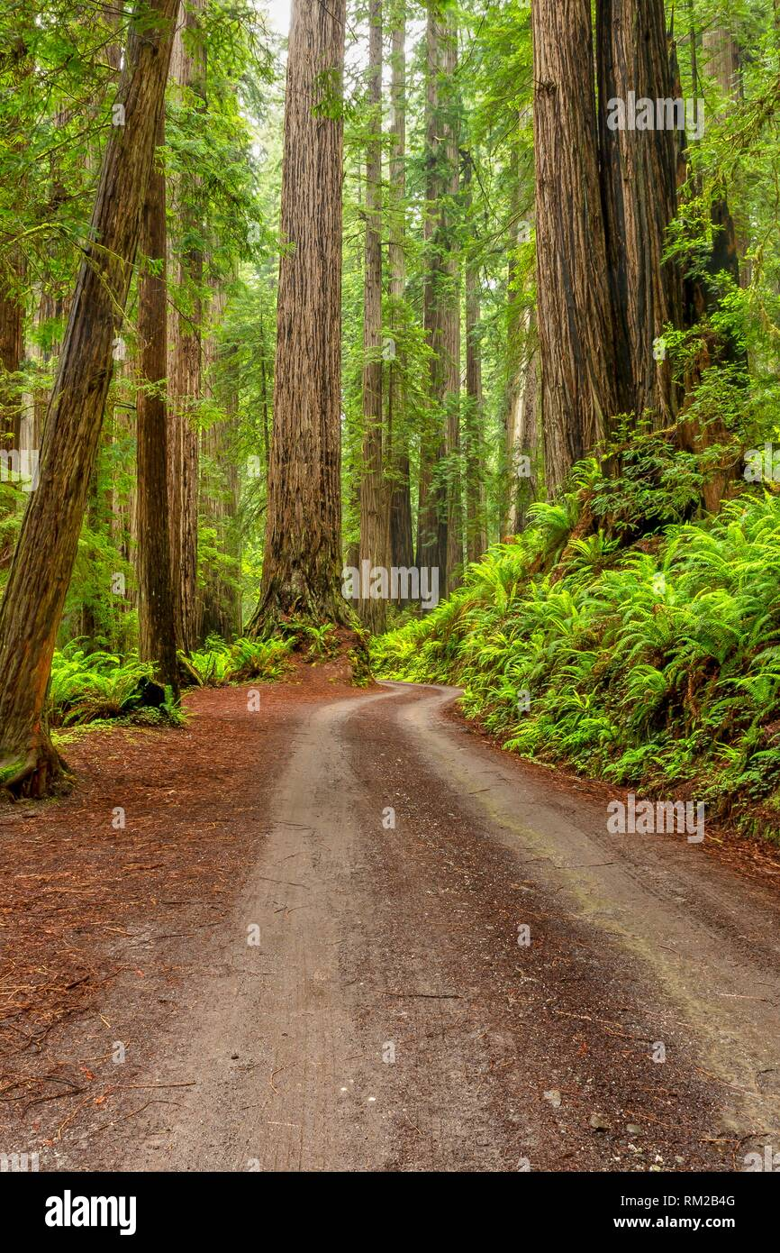 A break in rain lights the forest with sun along Cal Barrel Road in Prarie Creek Redwoods State Park, California, USA. - Stock Image