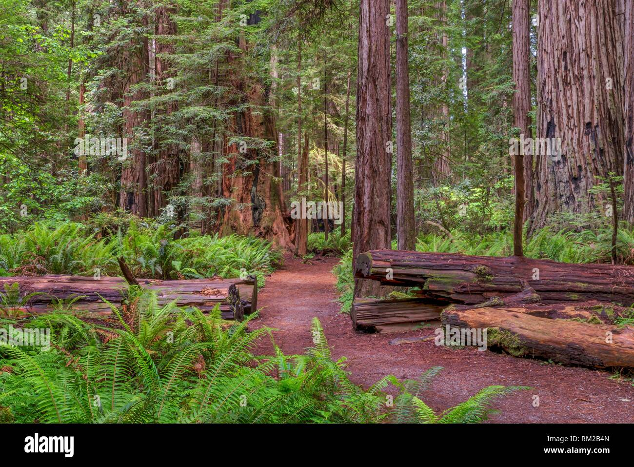 Sun between rain storms on a path in Stout Memorial Grove, Jedediah Smith Redwoods State Park, CA, USA. - Stock Image