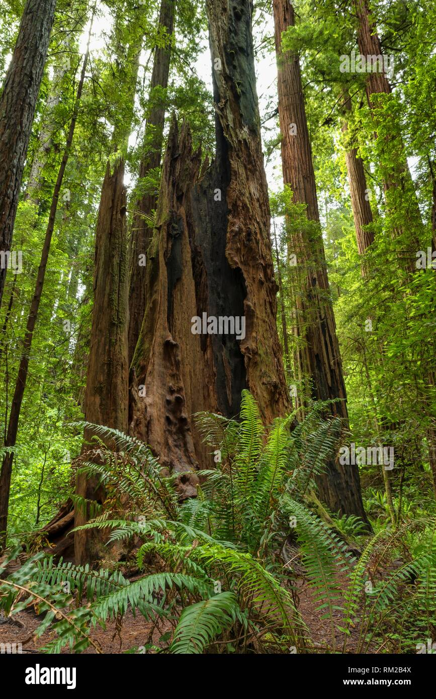 Hallow tree stump stands a monument to a fallen giant in Jedediah Smith Redwoods State Park, California, USA. - Stock Image