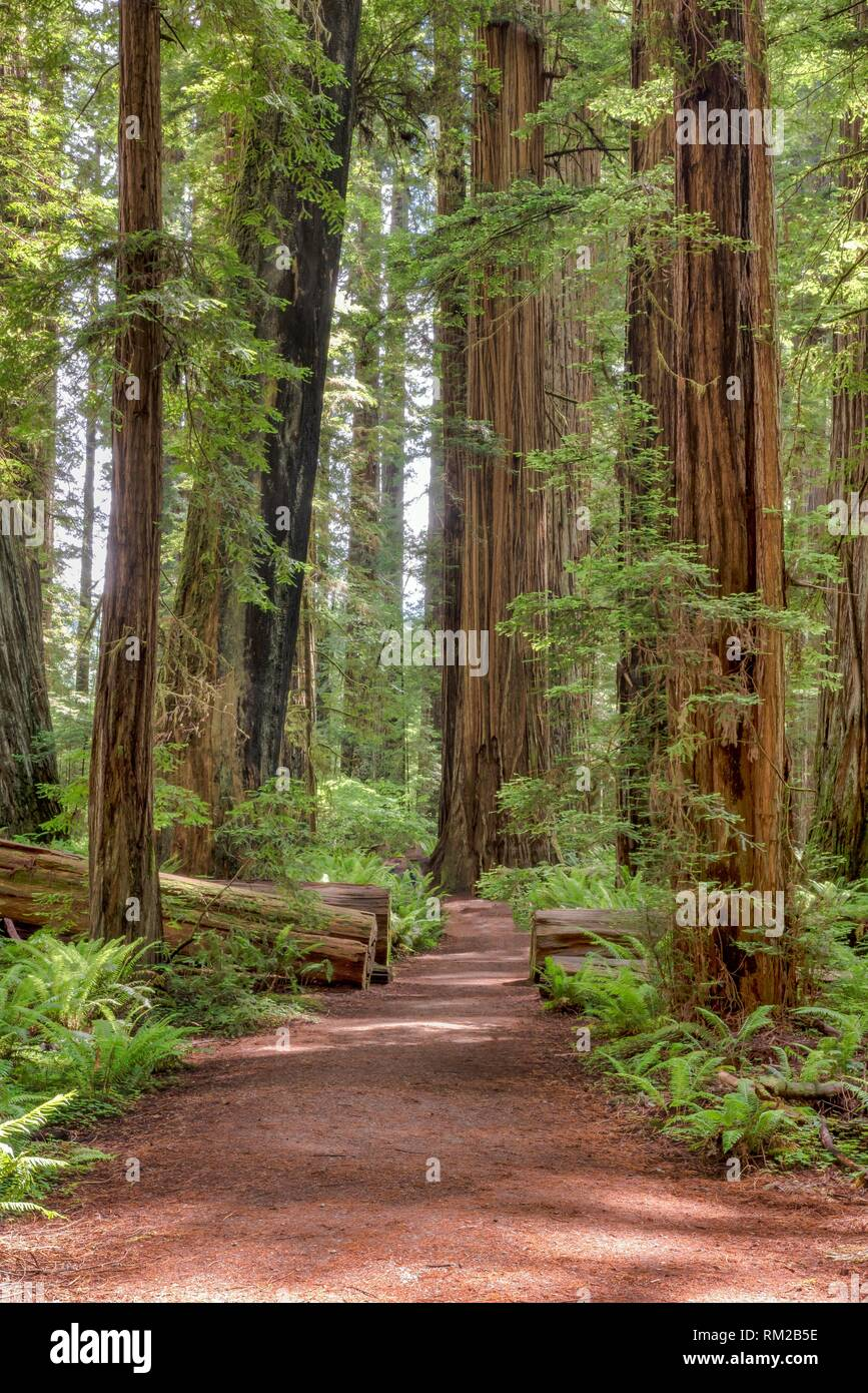 Path in the giant redwoods, Sequoia sempervirens, of Jedediah Smith Redwoods State Park, Northern California, USA. - Stock Image