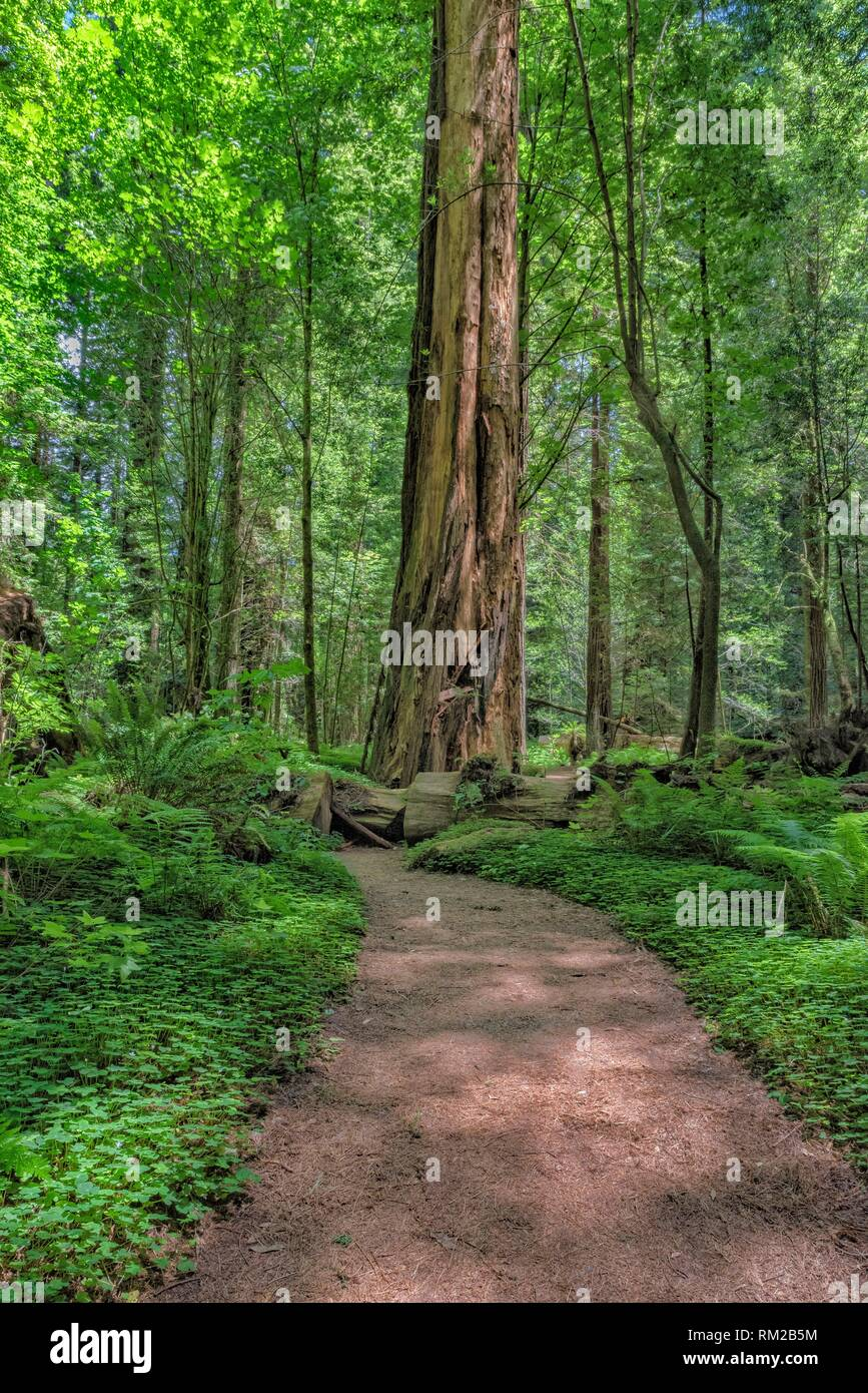 In Drury Channey Grove of the Avenue of the Giants, all paths lead to giant sequoia sempervirens redwoods, Northern California, USA. - Stock Image