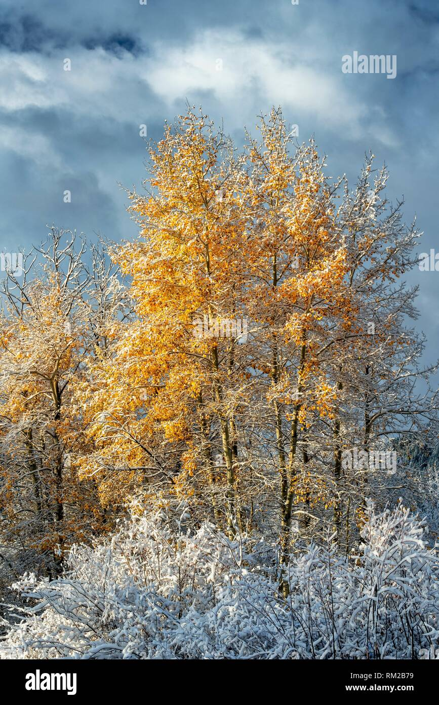 Grand Teton National Park Fall Aspen in snow.Sunrise reveals a landscape surprise as a brief fall snowstorm has passed by during the night covering - Stock Image