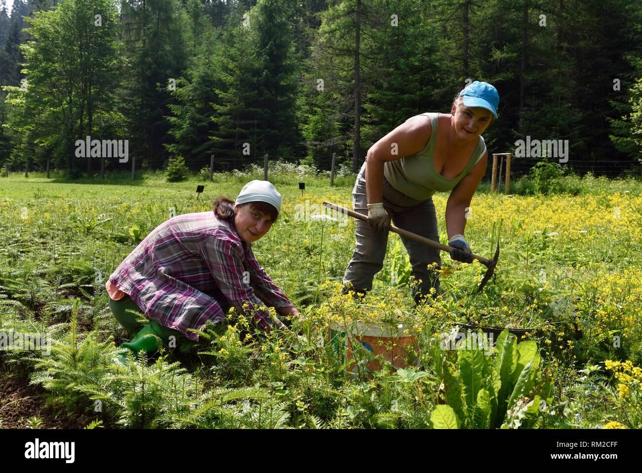 women working in a nursery coniferus trees for forestation, Chocholowska Valley, near Witow, Podhale Region, Polish Tatra mountains, Malopolska Stock Photo