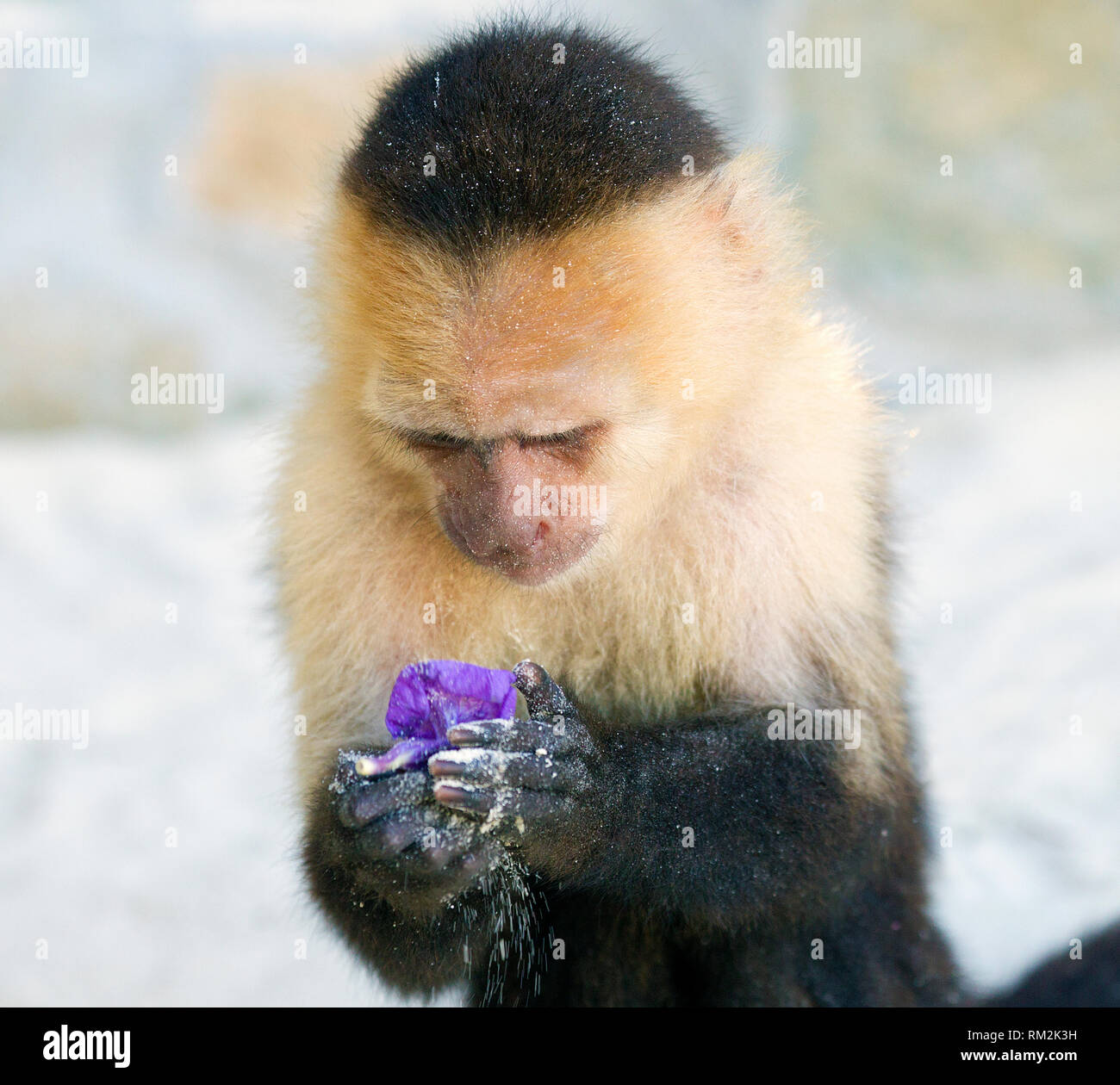 Capuchin Monkey Holding and Contemplating a Purple Flower Stock Photo