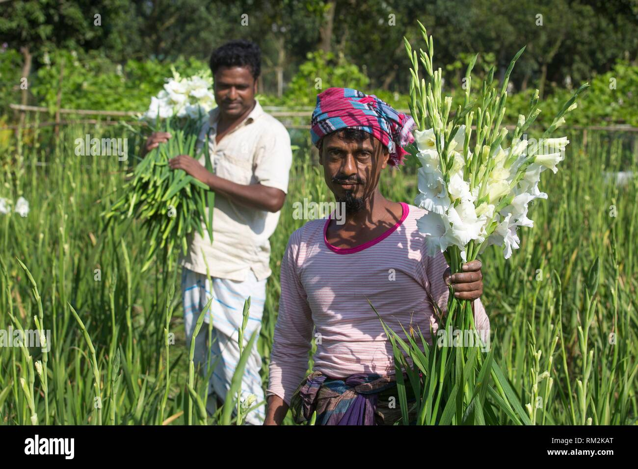 Gladiolus grows all the year and thatâ.s because its Profitable cultivation of gladiolus flower is gaining popularity among farmers in the district Stock Photo