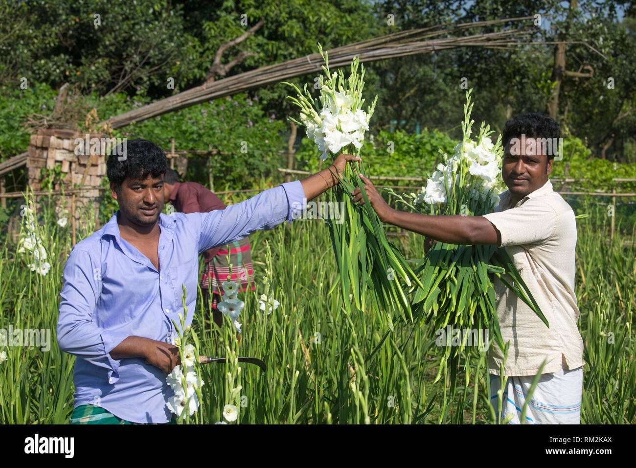 Gladiolus grows all the year and thatâ.s because its Profitable cultivation of gladiolus flower is gaining popularity among farmers in the district - Stock Image