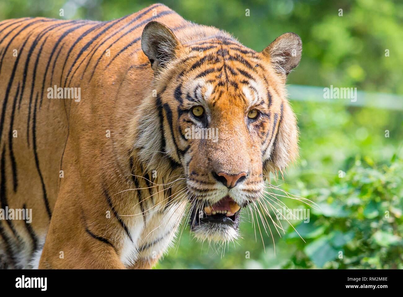 A Royal Bengal Tiger at Dhaka, Bangladesh - Stock Image