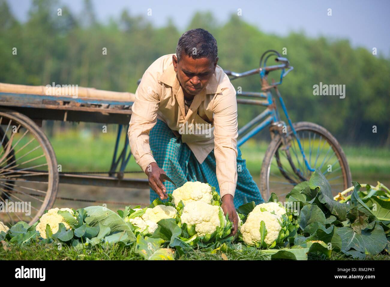 A farmer truncating Cauliflower leafs at Manikgonj, Bangladesh. - Stock Image