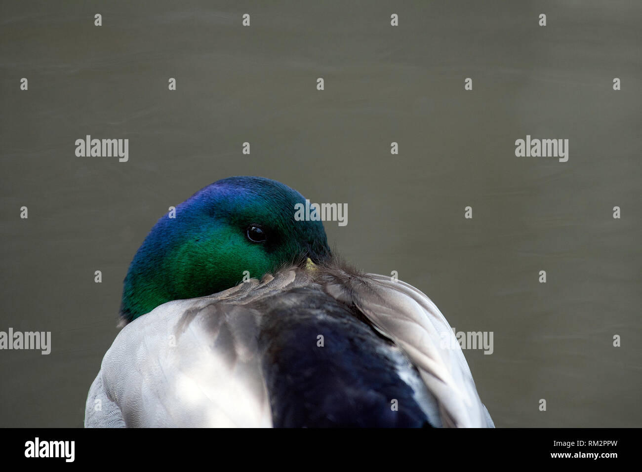 Mallard Drake Closeup - Stock Image