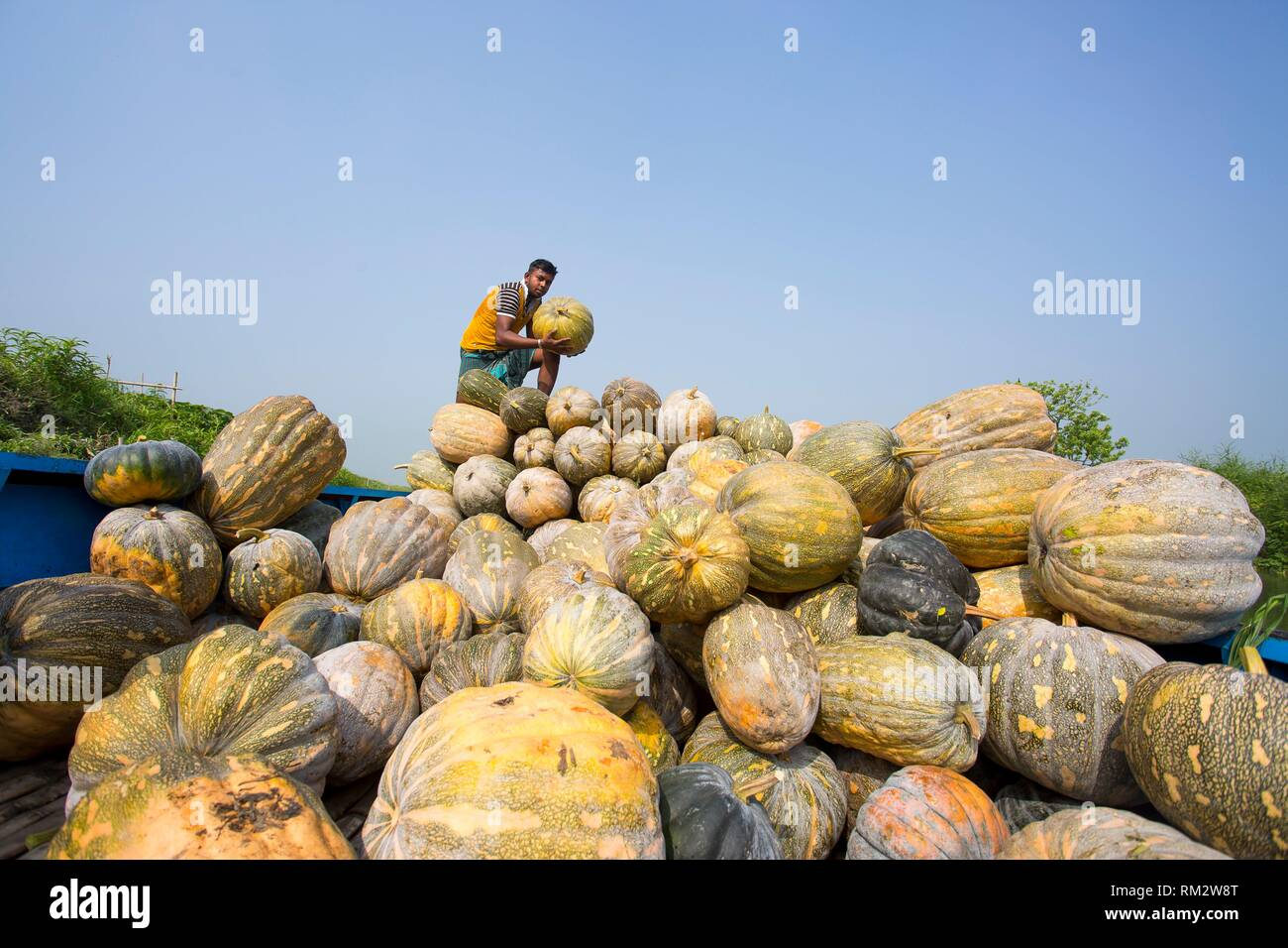 The Arial Beel (water body) of Munshiganj is famous for producing special kind of big-sized of sweet pumpkins; the local growers are making a huge - Stock Image