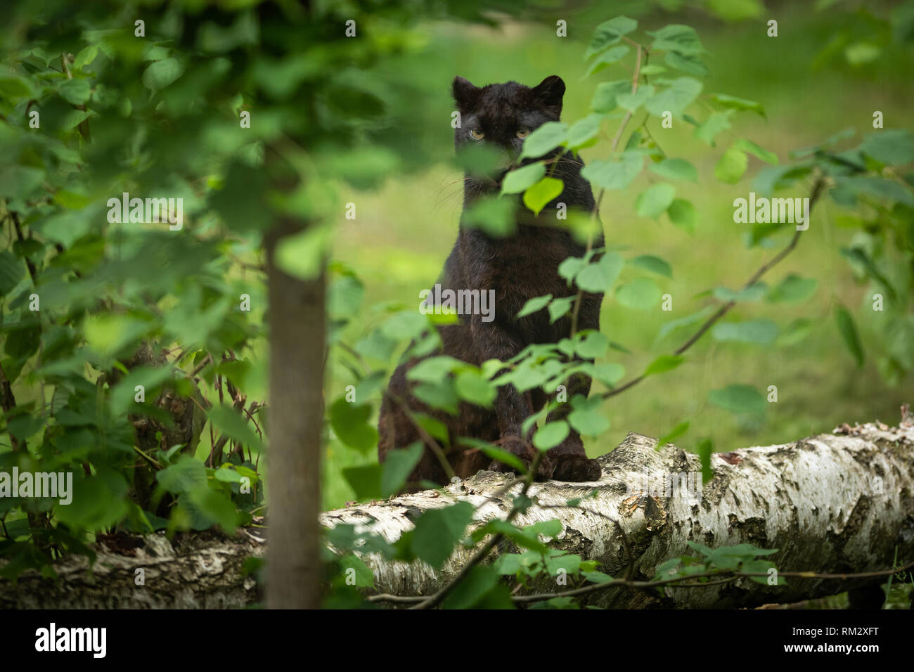 Black panther in the jungle - Stock Image