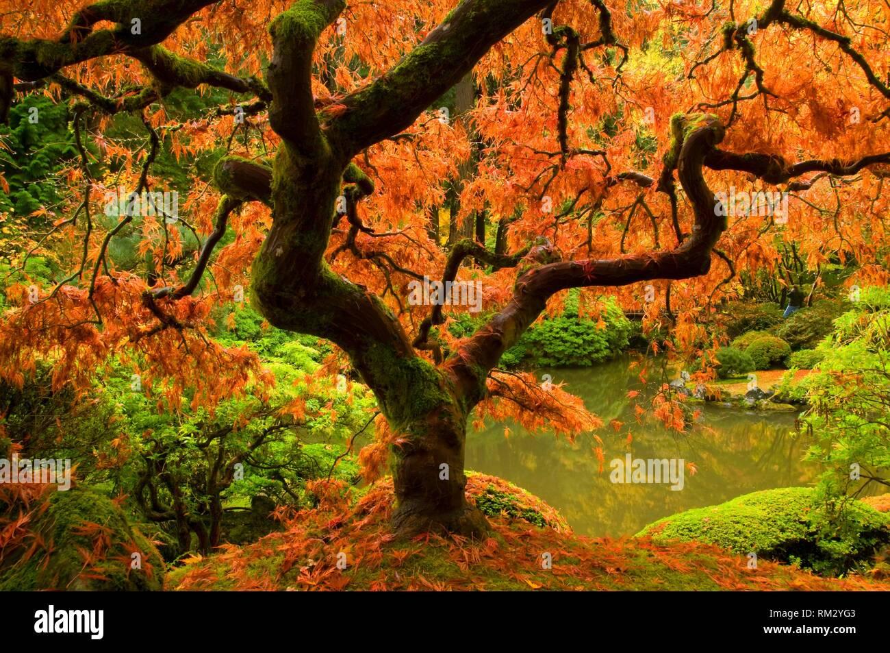 Japanese maple in autumn, Portland Japanese Garden, Washington Park, Portland, Oregon. Stock Photo