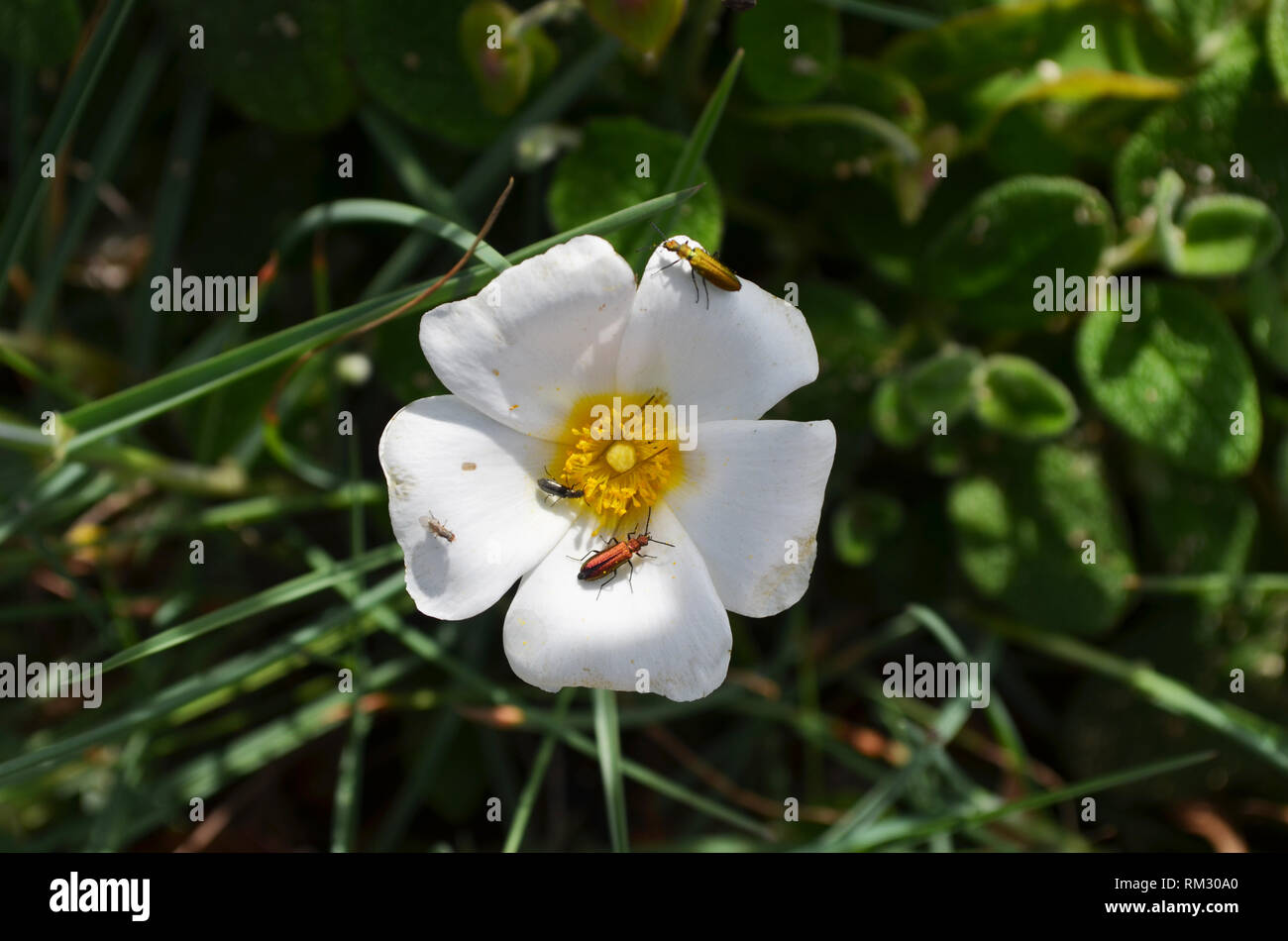 Beetles and fly on flower, southern Portugal - Stock Image
