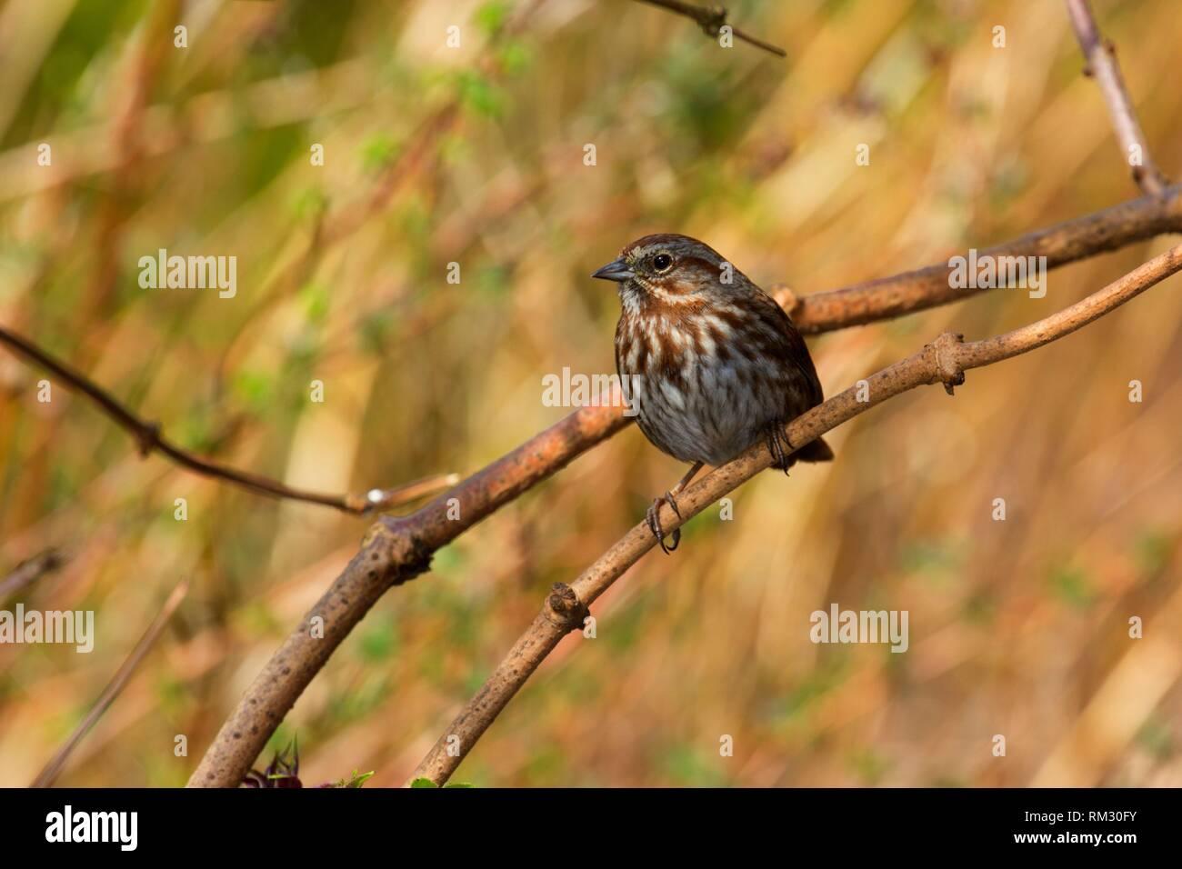 Sparrow, Jackson Bottom Wetlands Preserve, Hillsboro, Oregon. - Stock Image