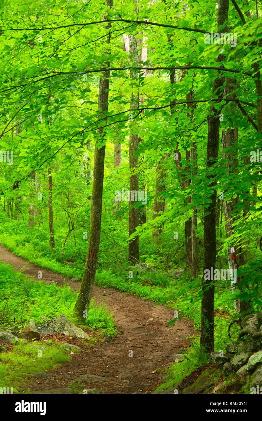 Laurel Trail, Devils Den Preserve, Connecticut. - Stock Image