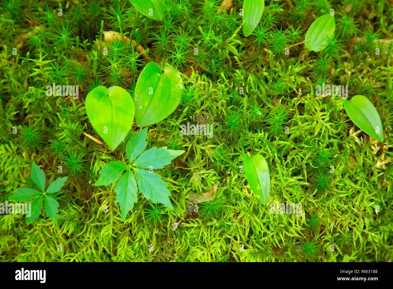 Virginia creeper in moss along Heritage Trail, Hartman Park, Lyme, Connecticut. - Stock Image