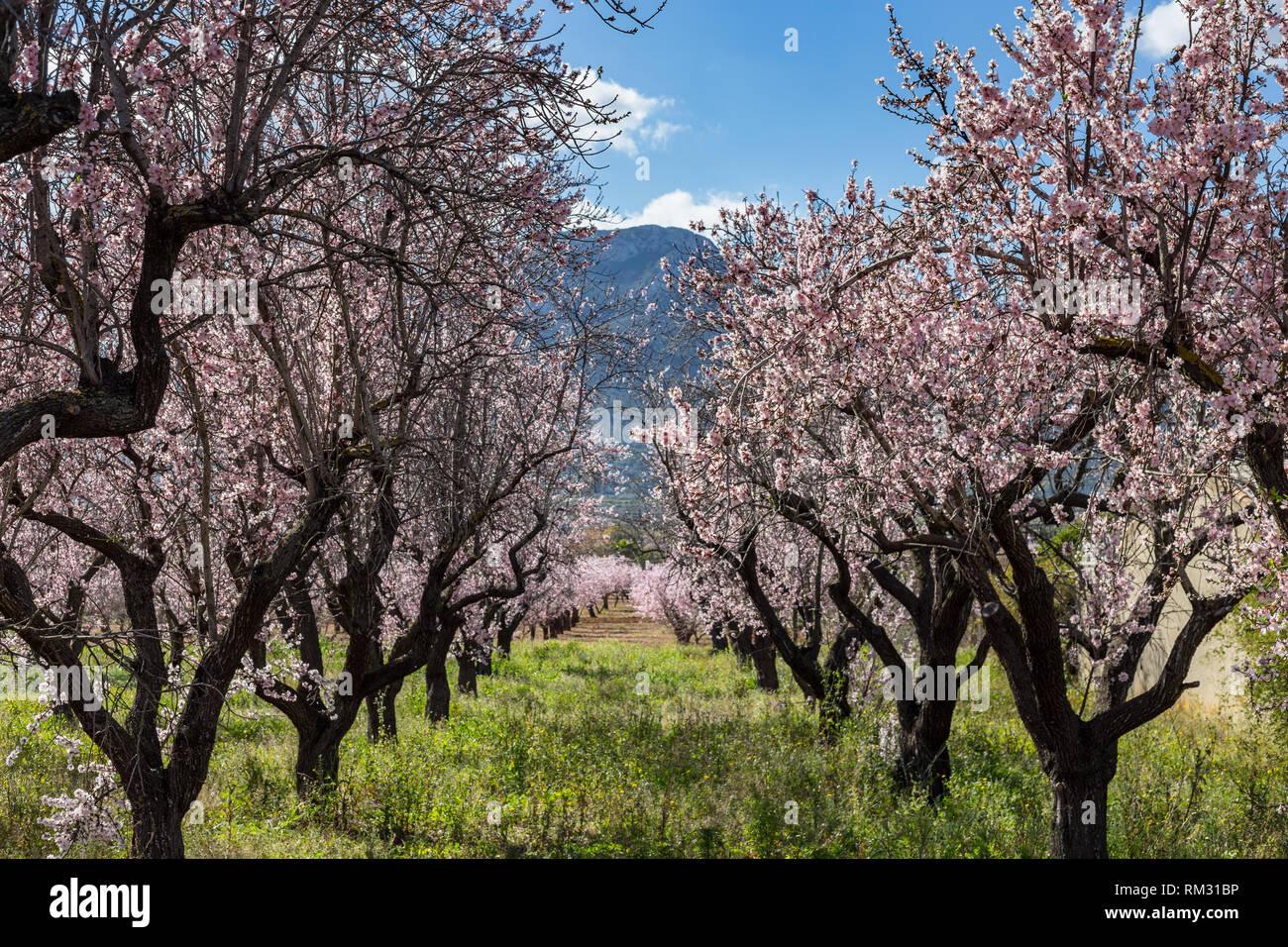 Almond blossom, prunus dulcis in the Jalon Valley, Costa Blanca, Spain Stock Photo