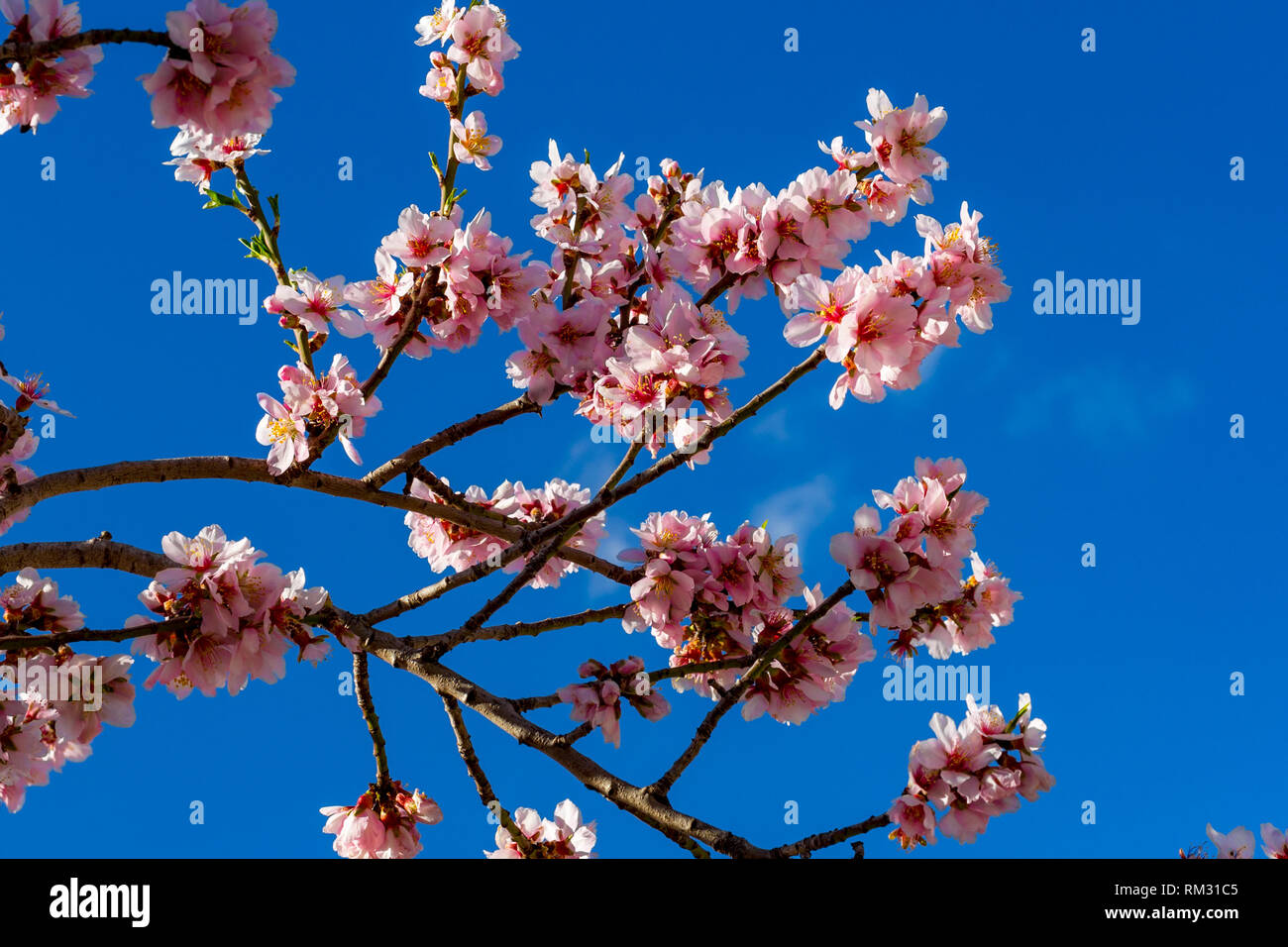 Almond blossom, prunus dulcis in the Jalon Valley, Costa Blanca, Spain - Stock Image