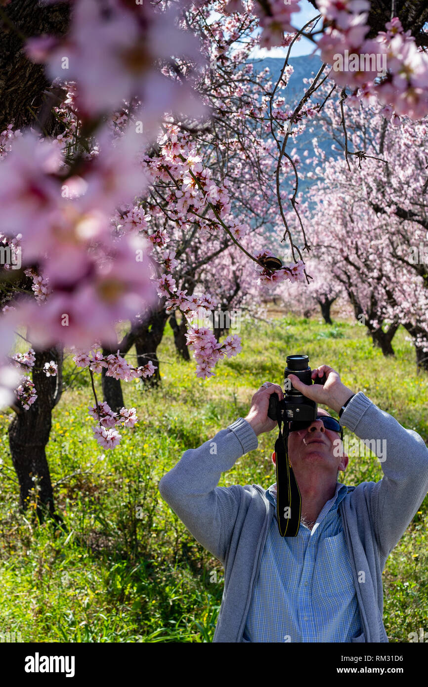 Male photographer shootinglmond tree in blossom, prunus dulcis in the Jalon Valley, Costa Blanca, Spain - Stock Image