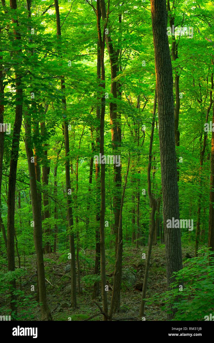 Forest along trail, Ragged Mountain Preserve, Connecticut. - Stock Image