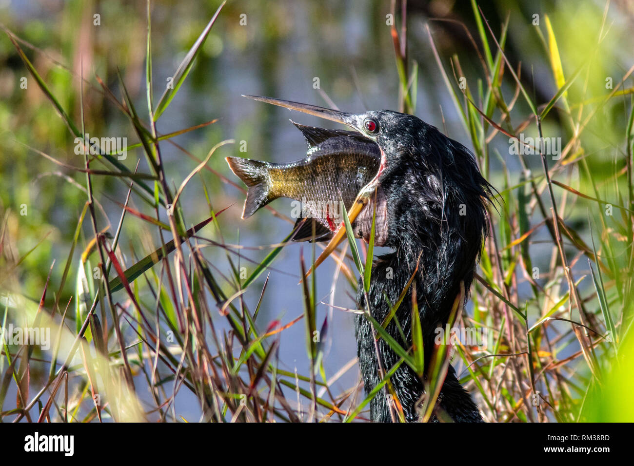 Anhinga trying to swallow large fish - Green Cay Wetlands - Boynton Beach, Florida, USA - Stock Image