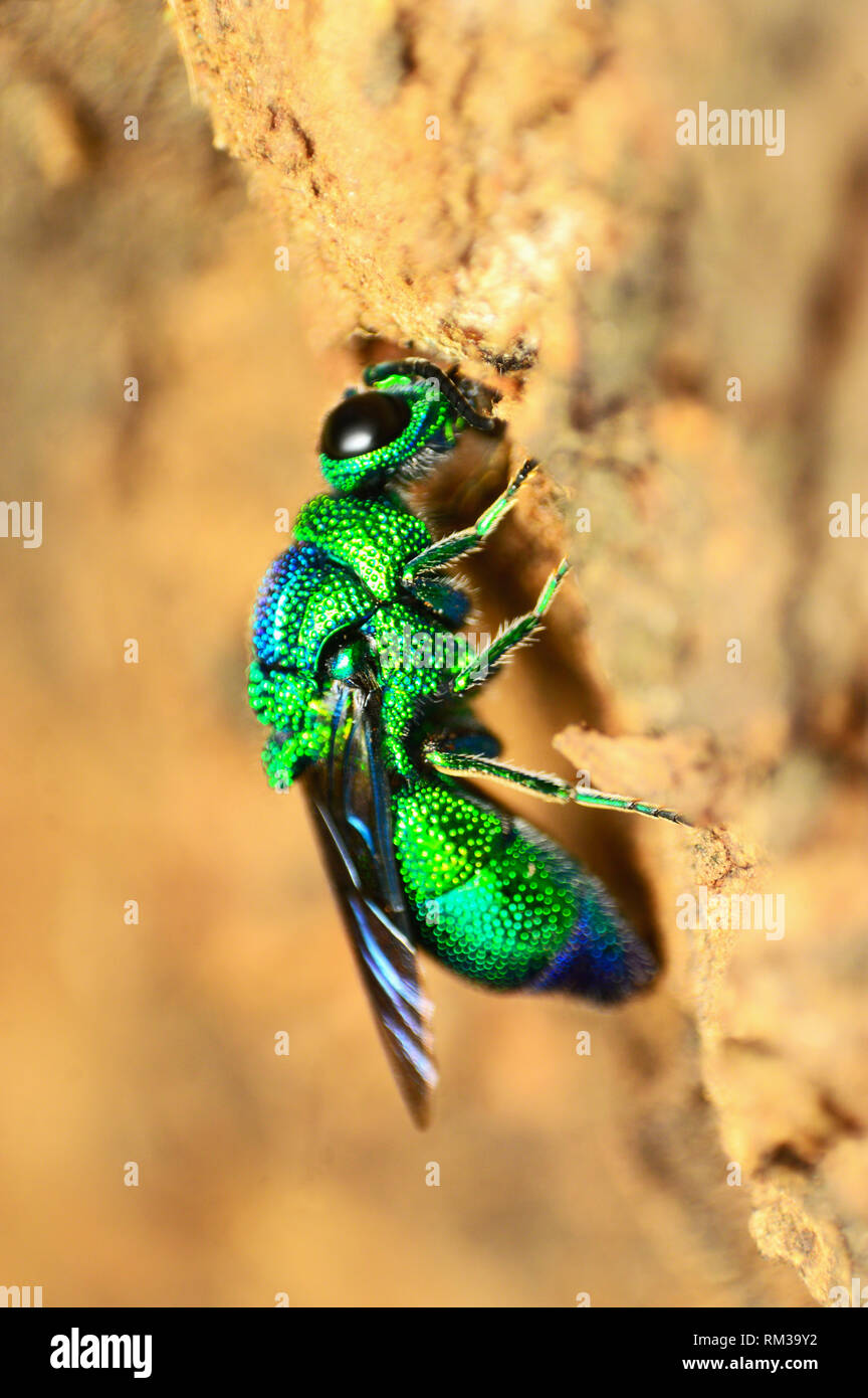 Cuckoo wasp, Chrysididae family, Pune, Maharashtra, India - Stock Image