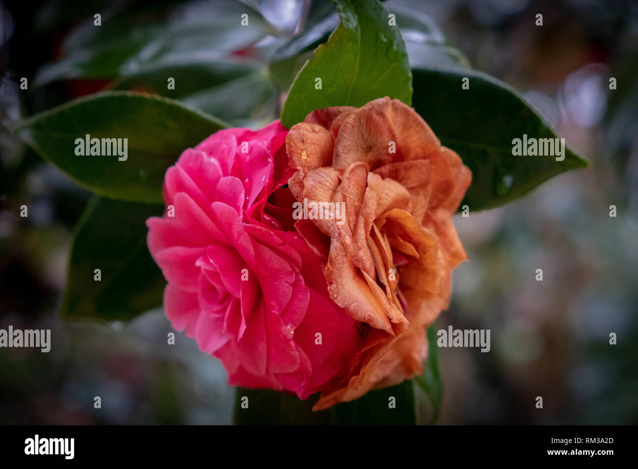 Common camellias, with one fresh and vibrant, and the other old and weathered. Could symbolize old vs new, or reflection of time gone by. - Stock Image