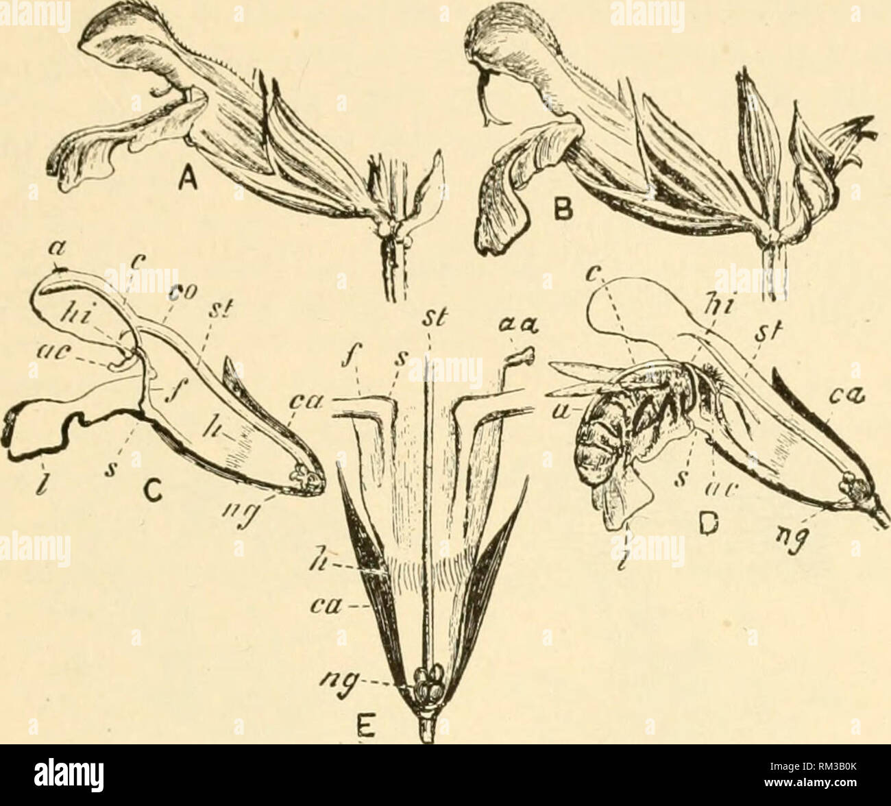 """. Annual report of the Board of Regents of the Smithsonian Institution. Smithsonian Institution; Smithsonian Institution. Archives; Discoveries in science. BEES AND FLOWERS. 478 to ivacli the noctiir (at ikj, fiii"""". 1) w Ixv (D) strikes with liis head the short sterile aiMU {ac) whieh aets as a sort of l(>ver to hrino; >lowu the loii<i- arm with its poHen sac {(t) to cover his haelc with the fertile dust. 'Vs laden the l)usy workman (lies to anoth'.'r flower and,. Fig. 1.—Flower of Salvia ojficinalis. (.From Cheshire: Bees and Bee-keeping.) A. Yoiing flower, showing an atro - Stock Image"""