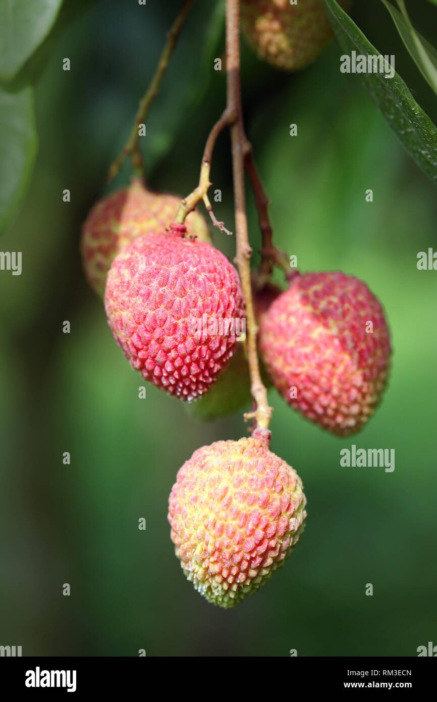 The Lychee is a fresh small fruit having whitish pulp with fragrant flavor. The fruit is covered by a pink-red roughly shell and easily removed to Stock Photo