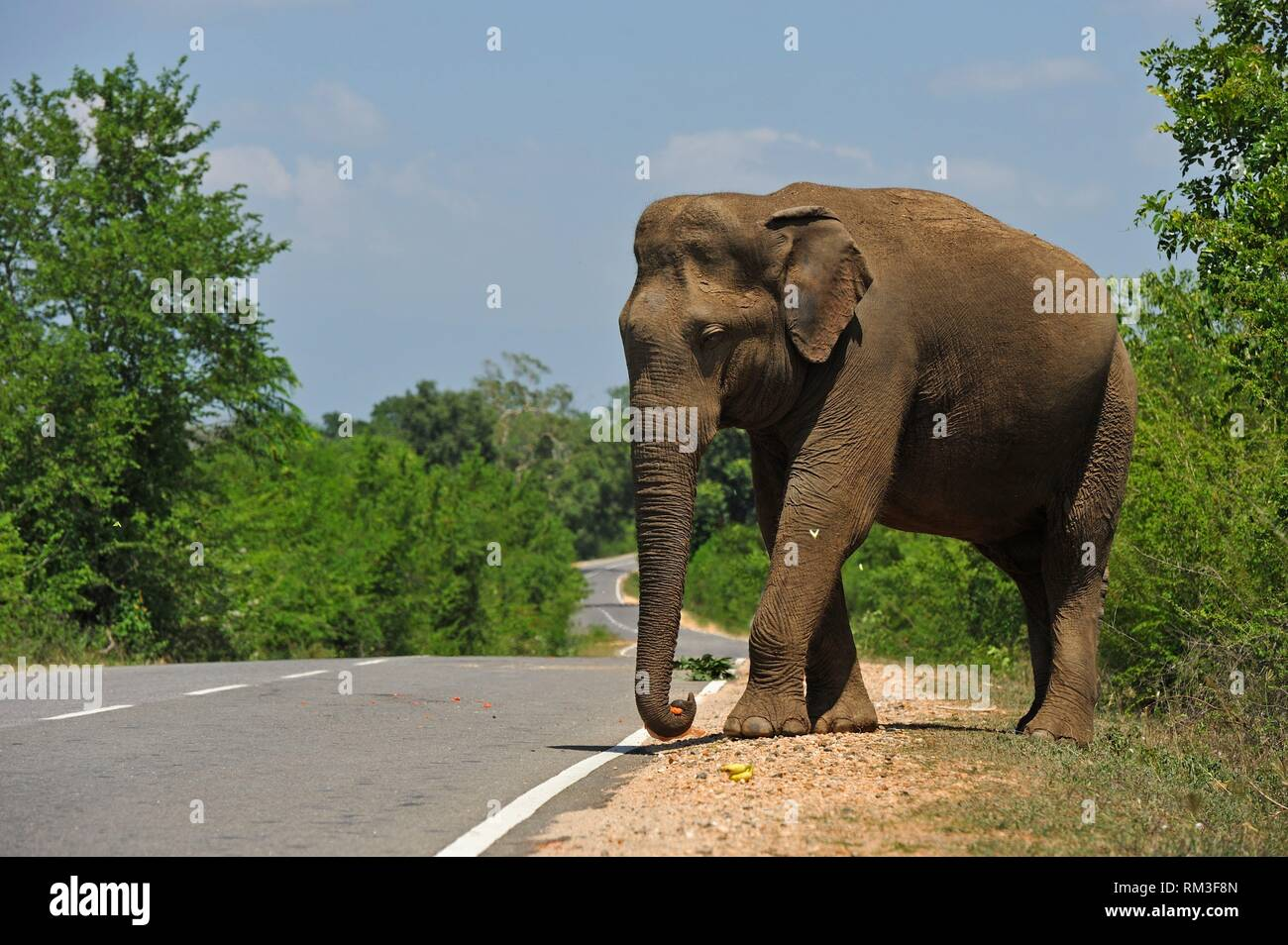 free wild elephant waiting for gift from travellers on the edge of the road near Lunugamvehera National Park, Sri Lanka, Indian subcontinent, South Stock Photo