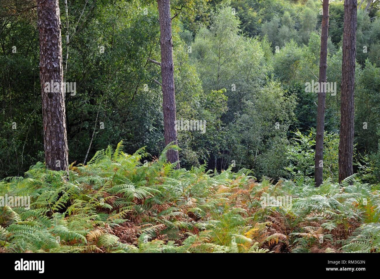 Eagle fern bed (Pteridium aquilinum ) in the Forest of Rambouillet, Haute Vallee de Chevreuse Regional Natural Park, Department of Yvelines, Ile de Stock Photo