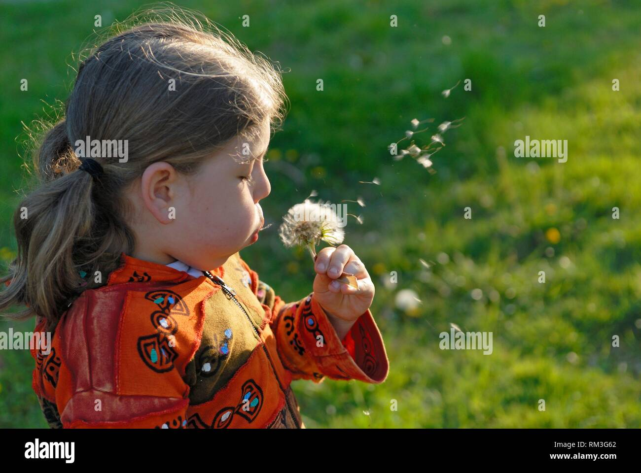 little girl blowing on seed head of a dandelion flower, France, Europe. - Stock Image