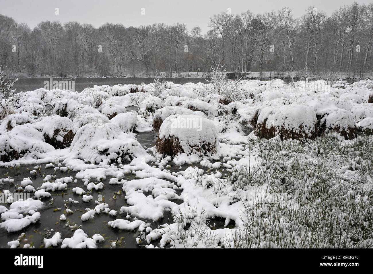 Greater tussok-sedge (Carex paniculata) in the pond of Guiperreux under the snow, Forest of Rambouillet, Haute Vallee de Chevreuse Regional Natural - Stock Image