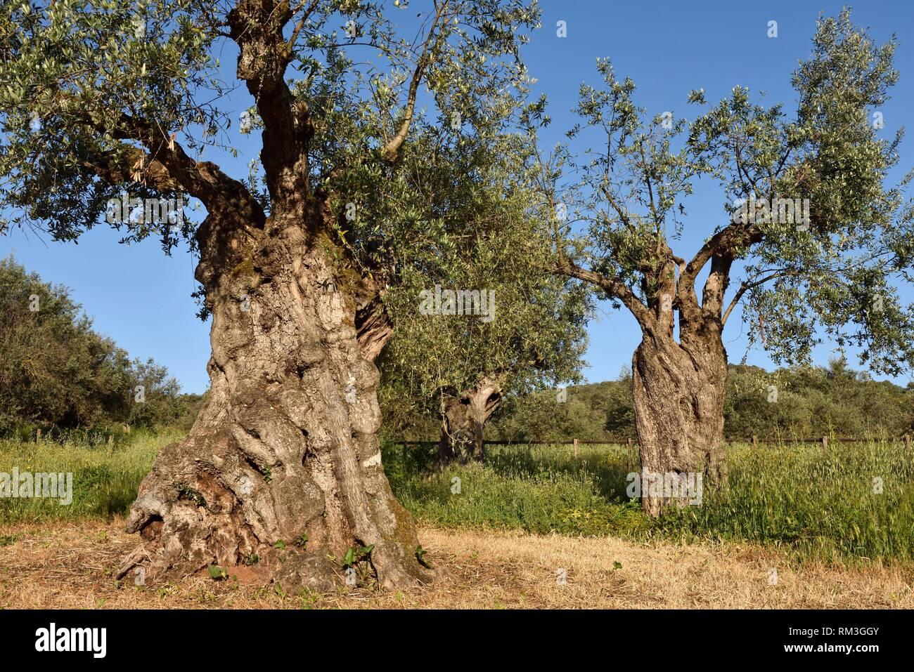 olive grove with some millennial olive trees in the gardens of the rural hotel Horta da Moura, Monsaraz, Reguengos de Monsaraz, Alentejo region, - Stock Image