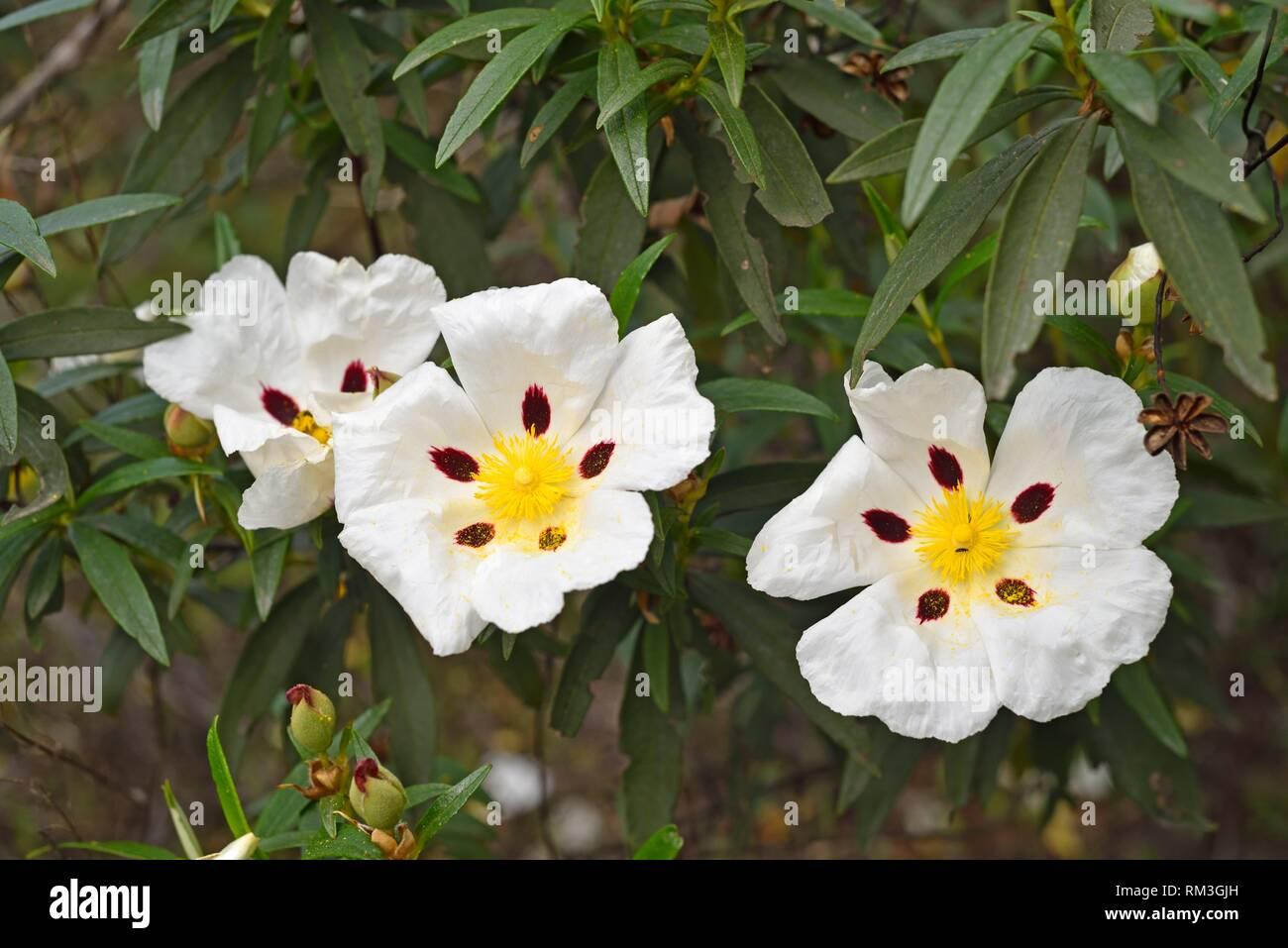blooming gum rockrose (Cistus ladanifer), Alentejo region, Portugal, southwertern Europe. - Stock Image